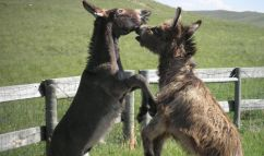 donkey-fight